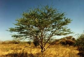 What is Gum Arabic used for?